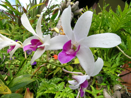 orchidee catalina