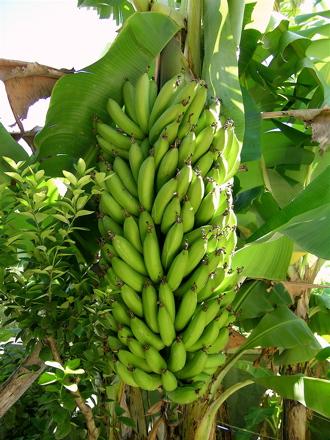 Le bananier la fleur le fruit 3 3 recif tapete - Quand couper les fleurs fanees des hortensias ...